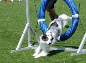 Tips for training your dog in agility