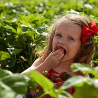 Farm fresh: Pick-your-own farms near St. Louis