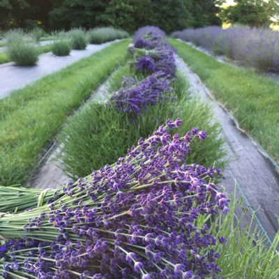 Unwind after a busy summer with a quiet day at Long Row Lavender.