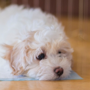 Tips for housetraining your puppy or dog